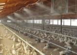 Nawilżanie w hodowli zwierząt